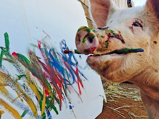 Meet 'Pigcasso': The Painting Pig Who Was Saved From Slaughter Article Image